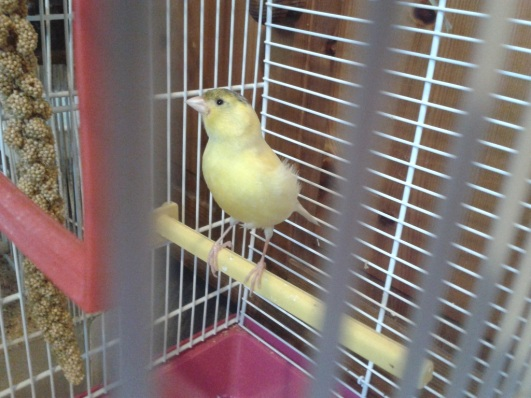 male-canary
