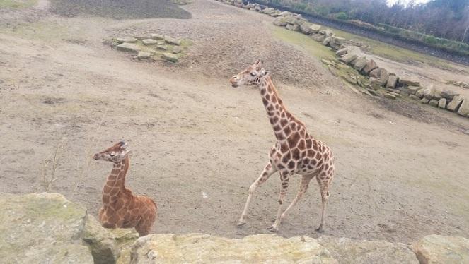 dubzoo-giraffes