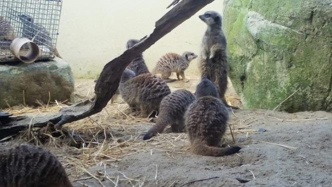 dubzoo-meerkats