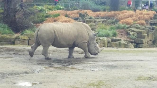 dubzoo-rhino
