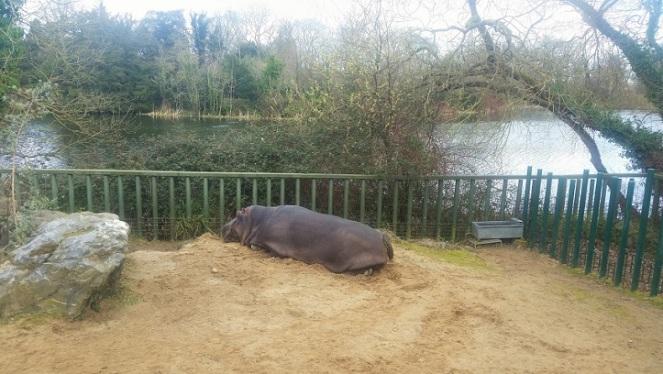 hippo-dubzoo