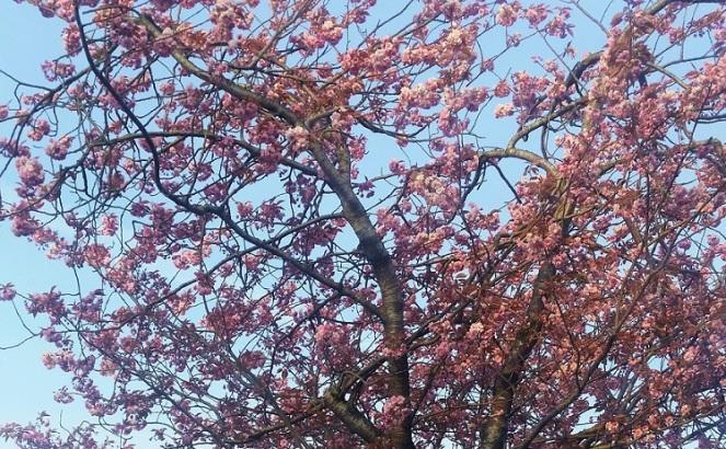 irish-cherry-blossom